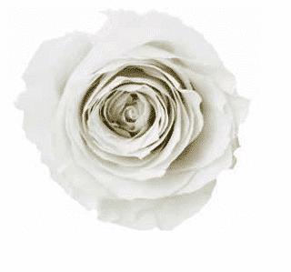white e33798ed e36a 4ceb 97a8 7a2d56742bd9 - 4 Preserved Roses in Ceramic Cube