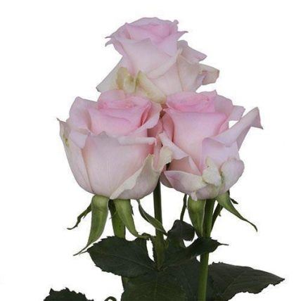 wholesale light pink roses