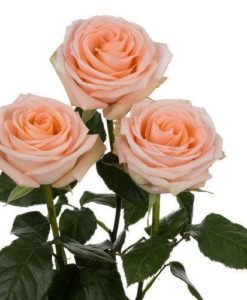 wholesale peach roses