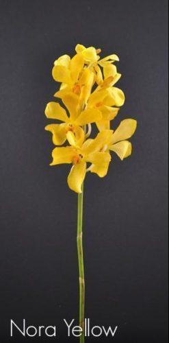yellow orchid mokara