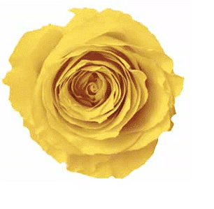 yellow - Preserved Roses 120 Heads